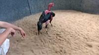 2000号质量重腿黑红鸡6.6斤,功夫高头两边管鸡挨管贴身推挤,重腿拐打背打后脑,打腿重,点位杀伤好,喜欢联系