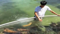 渔民鱼池收网,意外发现金色异种鱼,逃是不可能让它逃的!