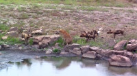 野狗VS鬣狗,这场面难得一见,让我开眼界了