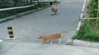 看看别人家的猫,一猫对战一群恶犬,太霸气了