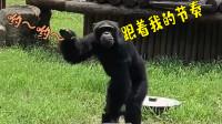 自带说唱气质的大猩猩 网友:幸亏我进化得早