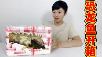 恐龙鱼开箱:买了两条非常凶猛的虎纹恐龙鱼,这次买的会咬人吗?