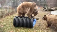 饲养员钻进圆筒不出来,棕熊都急坏了,下一秒憋住别笑