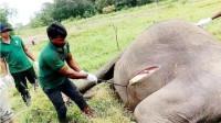 大象尸体为什么不能碰?非洲小伙不听劝,结果意外发生了