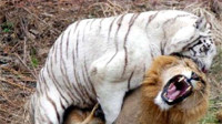 为何很多西方人会认为狮子比老虎厉害?原因说出来你都不信