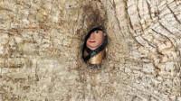 """我国这一千年古树,中间竟藏着一""""小孩"""",专家至今没有解释"""