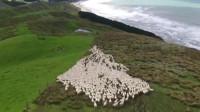 工作累了来上帝视角欣赏下边境牧羊犬的牧羊艺术,你发现了几只边牧呢?