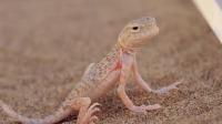 《极限挑战》版《走近自然》,路遇蜥蜴杨超越不停拍照