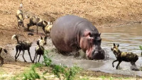 河马在河边喝水,一群胆大的野狗围了上来,下一秒好戏登场了!