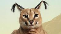 """猫界""""天山童姥"""",直立跳跃可达3米高,所到之处鸟飞绝!"""
