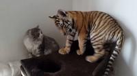 猫咪第一次见到老虎,这个反应绝了!镜头记下全过程