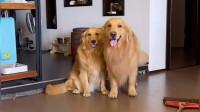 家里的狗狗好吃懒做,主人说家里养不起那么多吃闲饭的,金毛立马扫地