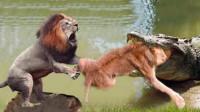 狮子过河被鳄鱼偷袭,下巴惨被撕碎,鳄鱼:你太低估我了!