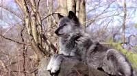 在野外遇到野狼时,为什么带盐的人能活下来?今天总算明白了!
