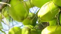 椰子,地球上最大的种子之一,播个种还挺有套路