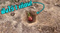 将火龙果埋在土里一个月,会发生什么变化?结果不淡定了!