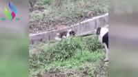 小狗掉进沟渠里,狗妈妈如许把小狗救出来,母爱爆棚