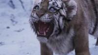 万物皆有灵!男子年轻时救下一只小老虎,长大后遇到绝境,老虎秒速救驾!