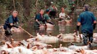 非洲红河猪泛滥成灾,当地人却打死也不吃,中国吃货:需要帮忙么?