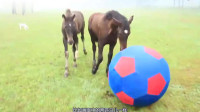 原来不仅仅是狗狗喜欢玩球,善于奔驰的马儿,也同样有此爱好