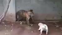 狗子得寸进尺,老虎再三避让,这狗子到死都没明白为什么拴起来的是老虎而不是它