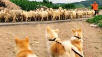 当秋田犬,遇到带着一群羊和德牧的时候
