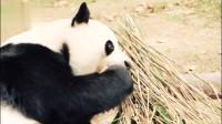 旅韩熊猫华妮美滋滋地吃完胡萝卜,又拿起窝头,傲娇表情萌到哭