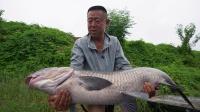 梅雨季节征战白荡湖,11米长竿连拔大青鱼