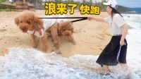 带狗去旅行 在五星级酒店遛狗是什么体验?刚到海边就被浪吓跑!