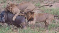 三头狮子围攻一头河马,原本以为是囊中之物,不料下一秒真心怂!