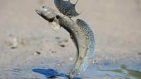 世界上最憋屈的鱼,进化3亿年成功上岸,刚上岸就碰到了广东人!