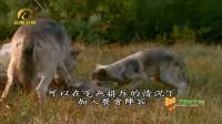 成狼捕杀了一只鹿,小灰狼在没受到排斥的情况下,加入了餐会阵容
