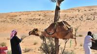 3位村民把一匹骆驼牢牢绑住,还吊了起来,操作令人看不懂!