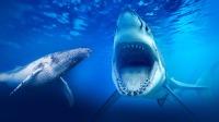 雄性座头鲸给母鲸唱歌求偶 海兔雌雄同体异体受精