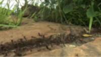 """数百万只蚂蚁迁徙,将大蟒蛇当成了食物,仅4分钟就化为一堆""""白骨""""!"""