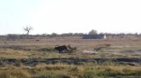 动物世界:霸气水牛与狮子群搏斗