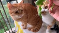 天天偷我的青菜吃,猫粮不香吗