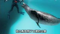 海豹怕摄影师饿死,连续四天抓企鹅给他吃,企鹅:???