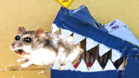 """小仓鼠被困在""""鳄鱼迷宫"""",它能成功逃出生天吗?看完让人不淡定"""