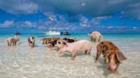 世界上唯一被猪占领的岛屿,不仅有着粉色的沙滩,还可撸小猪!