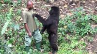 """大猩猩疯狂求""""抱抱"""",印度男子一巴掌下去,下一秒瞬间悲剧了!"""