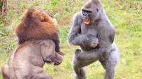 """狮子想攻击狒狒,结果反被一拳""""打趴"""",狮子:完全不给面子?"""