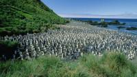 """澳洲这个面积不大的小岛,却生活着400万只企鹅,""""鹅满为患""""?"""