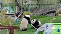 熊猫之间的战斗,感觉卖萌多过打架
