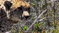 """天生强者!猎豹""""自带""""望远镜,双眼视觉为捕猎成功加持 动物超感官 20201029"""