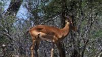 比超广角视野更牛!高角羚300度视线范围让一切无处遁形 动物超感官 20201029