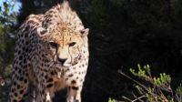 """""""动物界法拉利""""猎豹上演生死竞速,可关键时刻还得靠视力 动物超感官 20201029"""