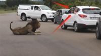 游客探出车窗给狮子拍照,意想不到的事情发生了,镜头拍下全程