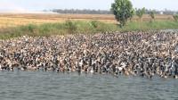 美国鲤鱼泛滥成灾,政府投放几十万只鸭子治理,结果让人哭笑不得