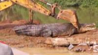3米长的鳄鱼遭遇挖掘机,鳄鱼以为自己很牛,结果悲剧了
